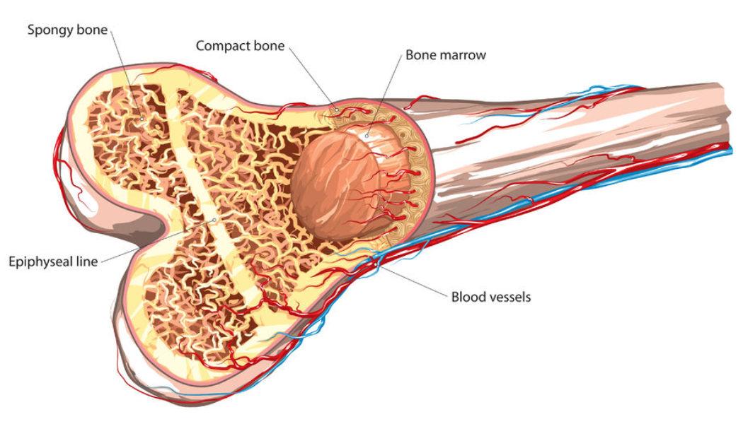 Bone Marrow Transplant Procedure Description